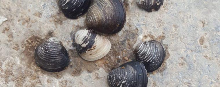 Muscheln gefunden am Main in Eibelstadt